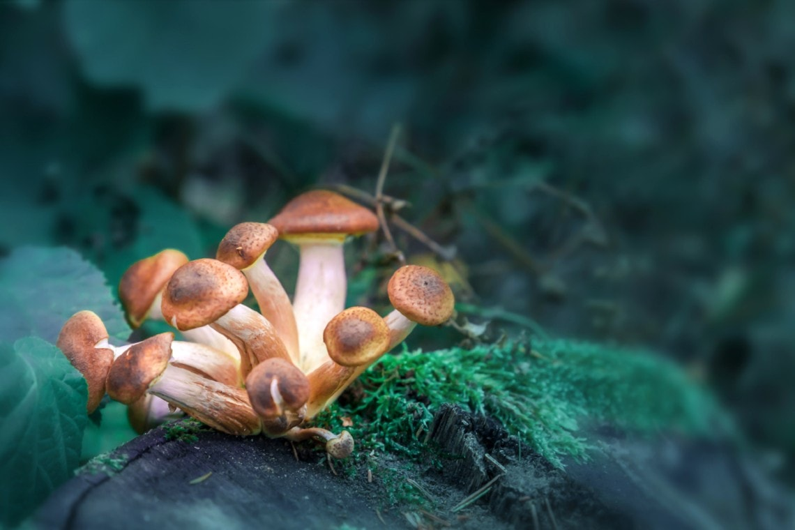 Foraged Mushroom Toxicity Presenting to Urgent Care with Acute Kidney Injury